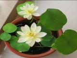 Chọn loại cây phong thủy nào vừa có hoa đẹp vừa hút tài lộc?