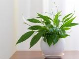 5 loại cây phong thủy vừa hút độc tố trong nhà vừa mang lại may mắn
